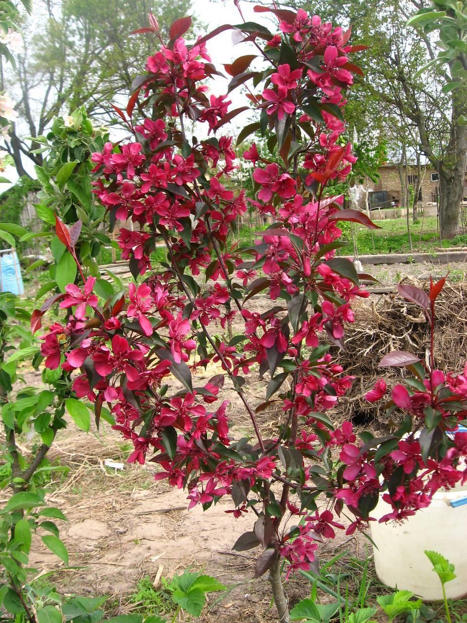Декоративная яблоня «роялти»: описание, посадка и уход