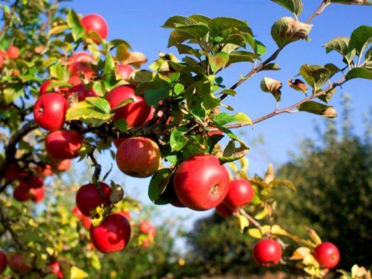 Северные красавицы: лучшие сорта яблонь для ленинградской области