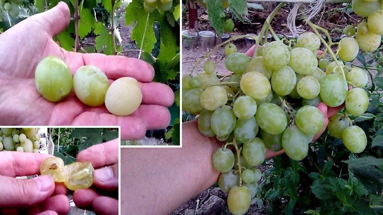 Сорт винограда аметистовый: описание и выращивание