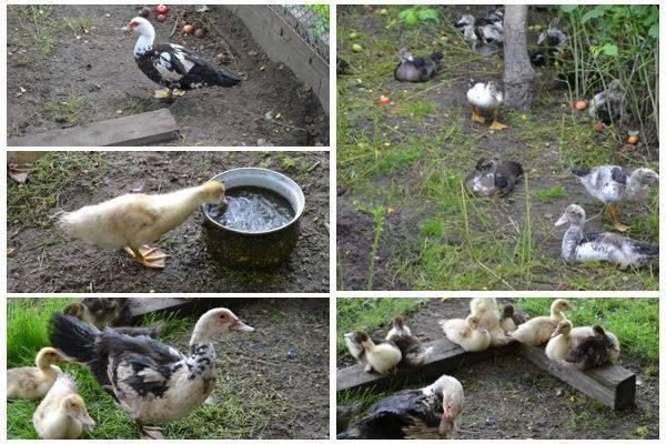 Пекинские, руанские, кряквы, утки муларды и другие породы выращиваем без проблем!