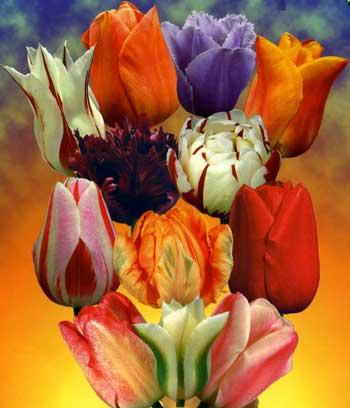 В каком месяце сажать тюльпаны осенью