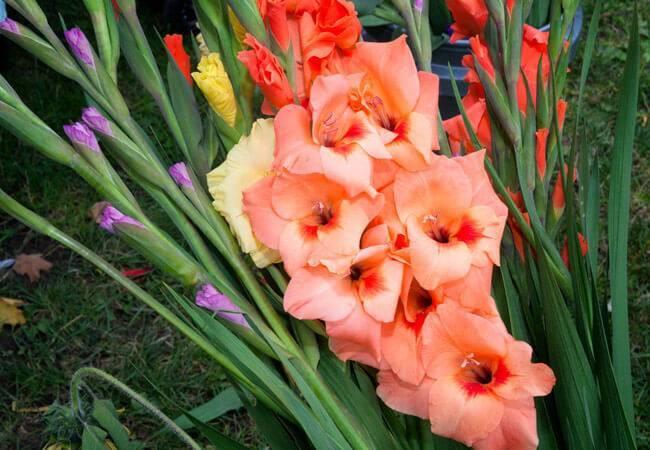 Гладиолусы, посадка и уход за очаровующими цветами в домашнем саду