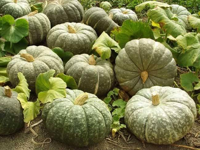 Классификация и обзор лучших сортов тыквы