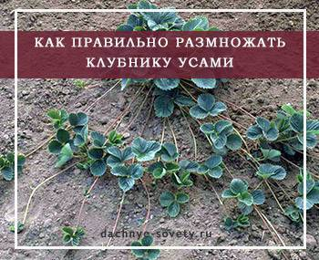 Когда лучше пересаживать клубнику – весна, лето, осень и снова весна