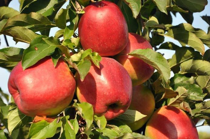 О яблоне Лигол: описание сорта, характеристики, агротехника, выращивание