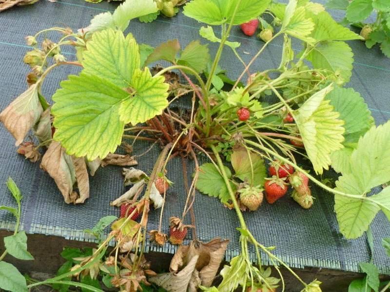 Что сделать, чтобы у клубники не скручивались листья?