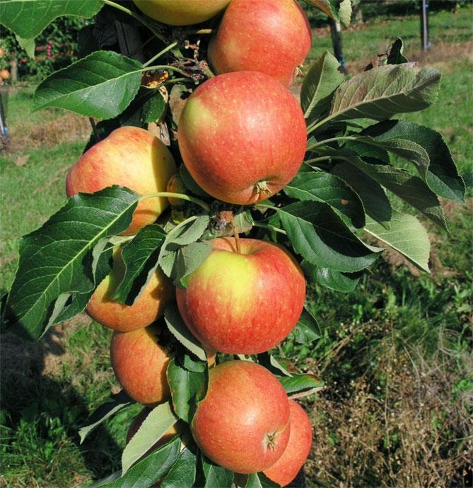 Колоновидные яблони — особенности и лучшие сорта