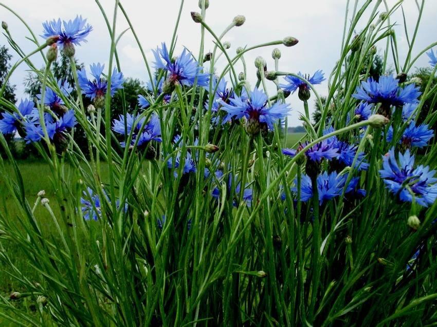 Васильки – посадка и уход, выращивание из семян