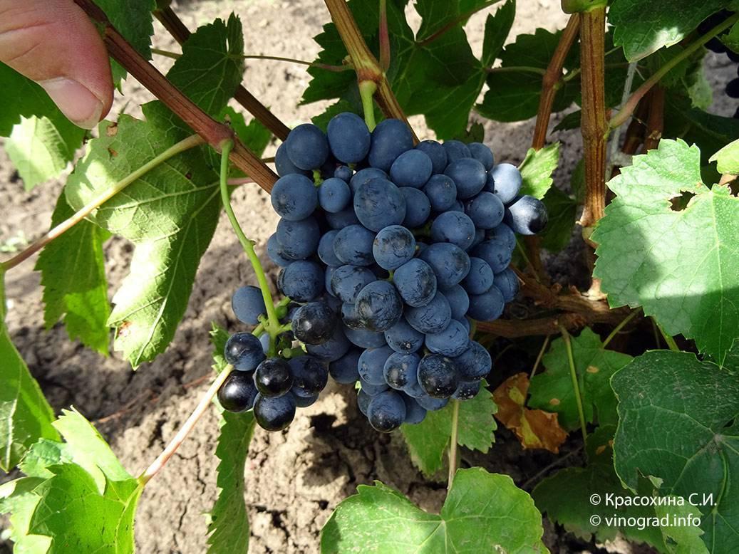 Вино саперави: обзор вкуса и видов