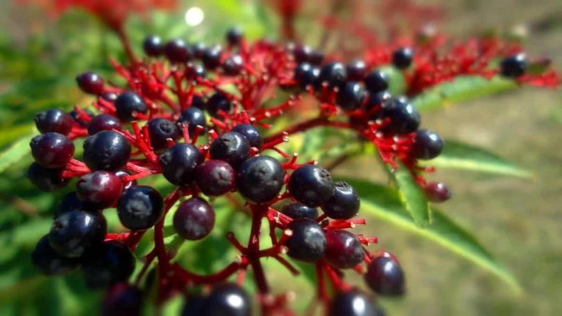 Бузина черная: посадка, полив, обрезка и размножение. противопоказания, лечебные свойства и рецепты подкормки бузины (110 фото)