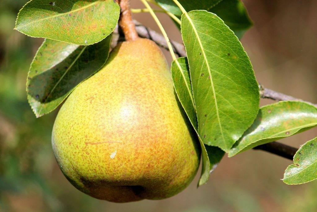 Чем осенью подкормить грушу. чем лучше подкормить яблоню и грушу осенью для лучшей зимовки и богатого урожая?