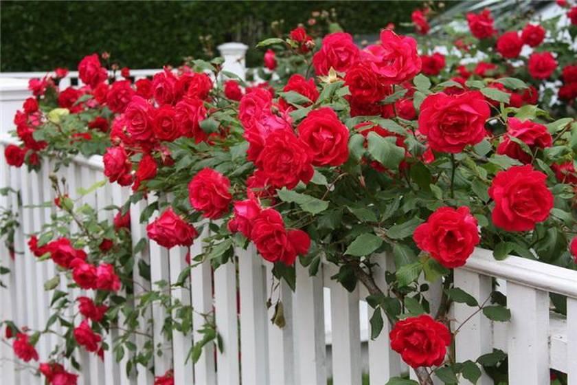 Роза плетистая: посадка и уход в открытом грунте