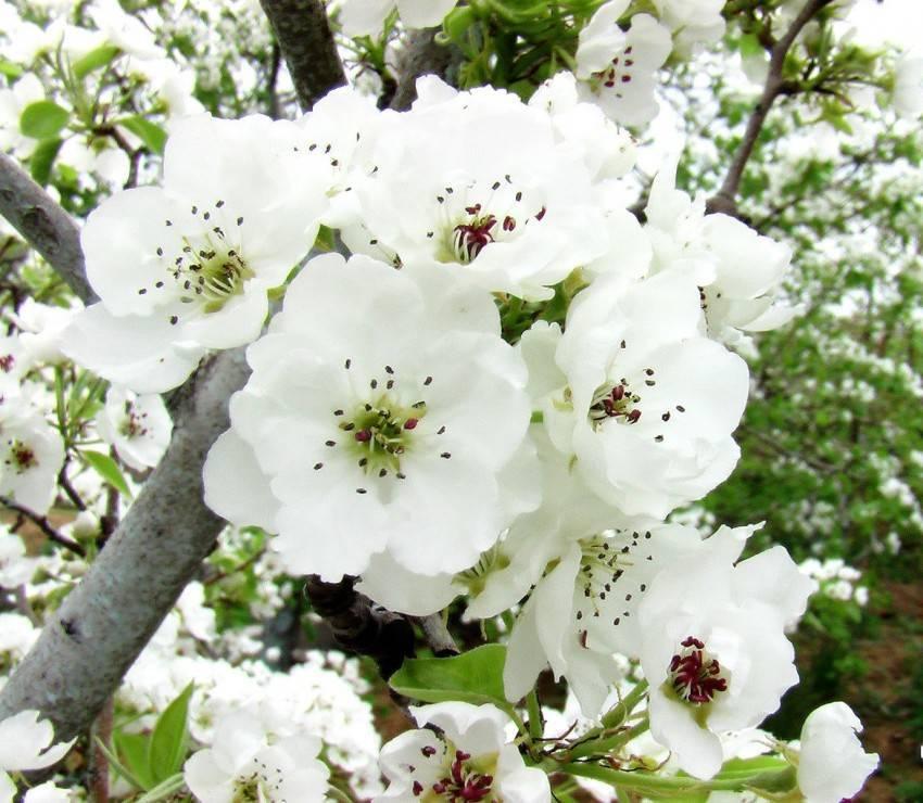 На какой год плодоносит груша после посадки, что делать если она не цветет?