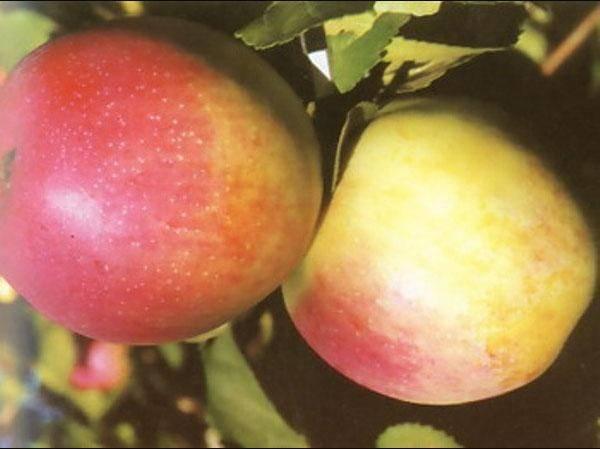 О яблоне ола: описание сорта, характеристики, агротехника, выращивание