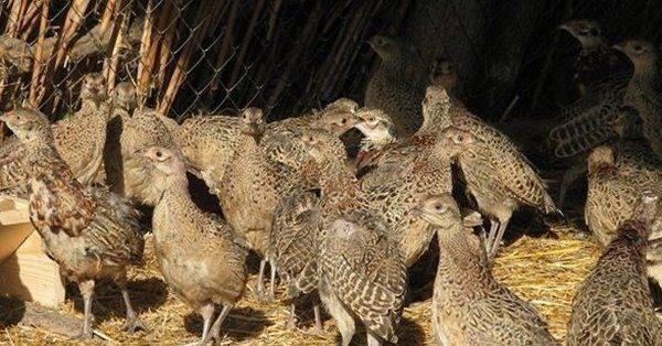 Разведение фазанов на мясо: полезные советы для начинающих фермеров