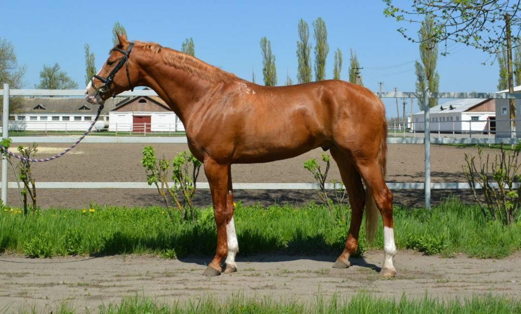 Буденновская лошадь: особенности и перспективы разведения