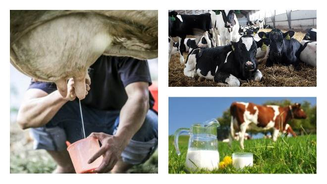 Комолая корова: описание породы, преимущества, правила содержания