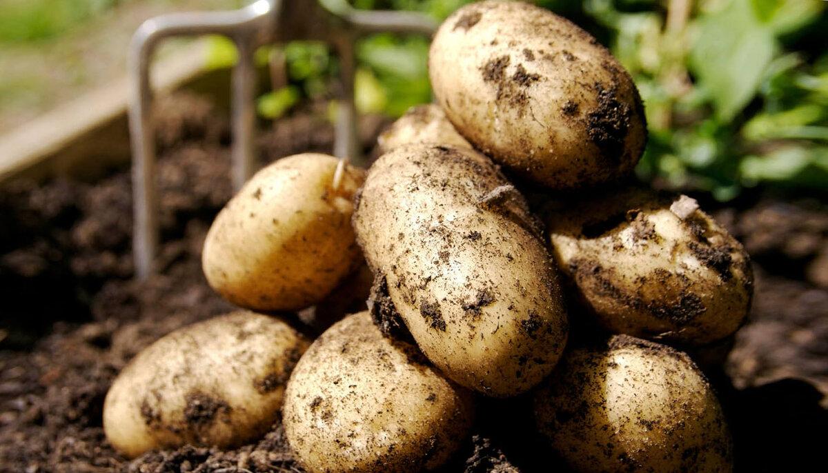 Китайский метод выращивания картофеля. в чем его суть и особенности?