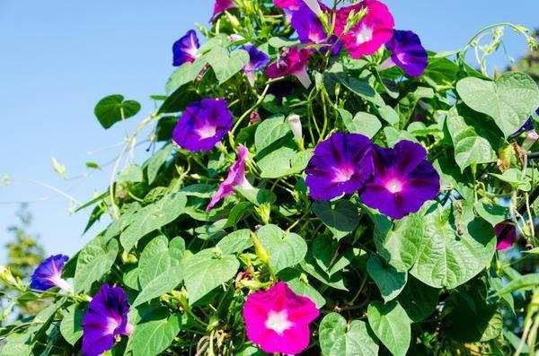 Садовые цветы ипомея: фото, семена и рассада многолетней ипомеи в саду и на балконе