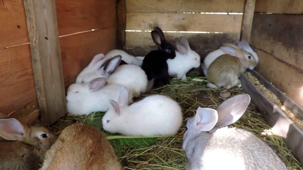 Симптомы, лечение и профилактика кокцидиоза у кроликов - общая информация - 2020