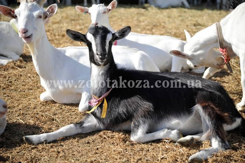 Альпийские козы — описание, характеристики, разведение и содержание. преимущества и особенности породы (80 фото)
