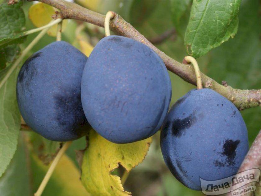 Слива домашняя 'синий дар' — википедия с видео // wiki 2