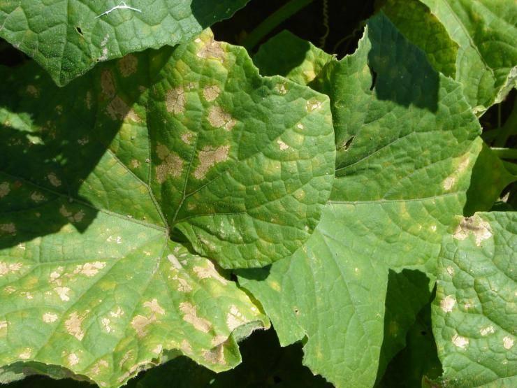 Пероноспороз огурцов: методика выявления заболевания на ранней стадии и обработка овощей (79 фото)