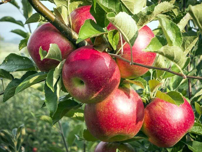 Яблоня: описание 25 лучших сортов с отзывами садоводов о них