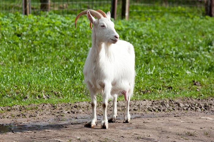 Болезни коз: диагностика, описание, разновидности, способы, методы лечения и профилактика распространенных заболеваний (90 фото)