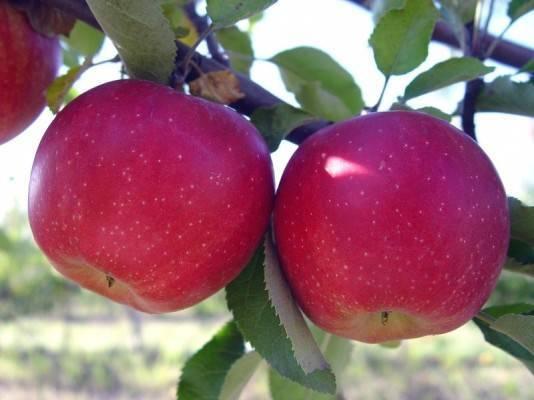 Яблоня слава победителю: описание сорта и фото, характеристики и особенности выращивания