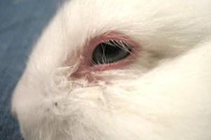 Заболевание глаз у кроликов