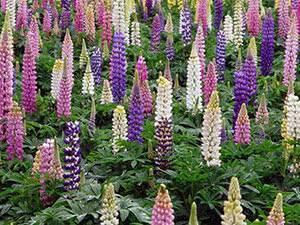 Многолетние люпины: выращивание из семян, когда сажать в открытый грунт, посадка и уход летом и осенью