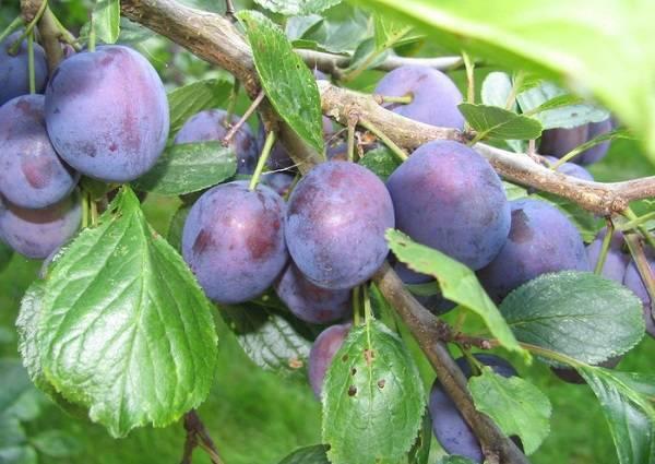 Особенности выращивания и описание сливы сорта синий дар