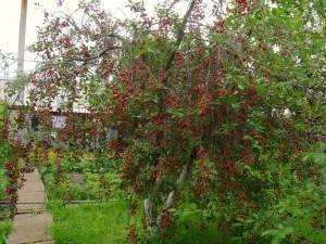 Выращивание вишневых деревьев