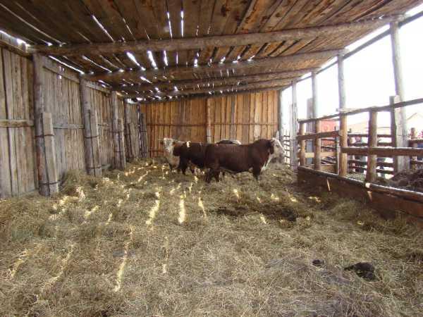 Как построить сарай для быков и коров