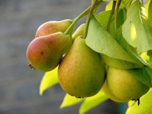 Когда лучше сажать грушу в зависимости от региона