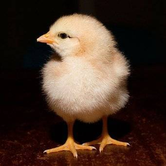 Лечение антибиотиками широкого спектра действия кур несушек, бройлеров, цыплят