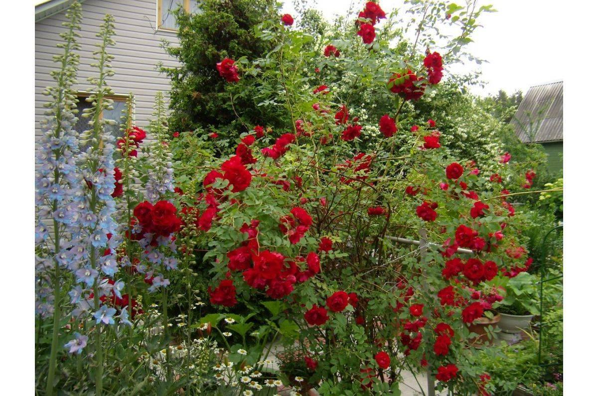 Канадская роза: сорта, фото, описание