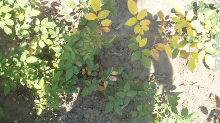 Желтеют листья у розы: как ей помочь?