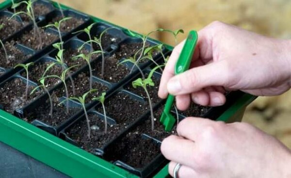 О методах стимулирования роста рассады томатов: как усилить рост, средства