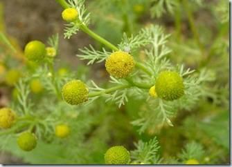 Как вырастить многолетнюю садовую ромашку на даче
