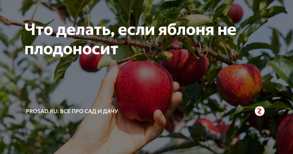 Яблоня не плодоносит.