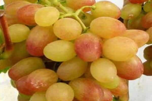 Что нужно знать о сорте винограда тасон
