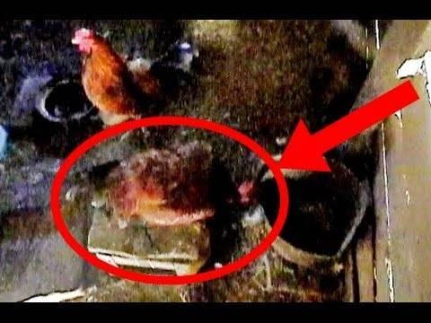 Сколько нужно кур на одного петуха в курятнике для хорошего оплодотворения яиц