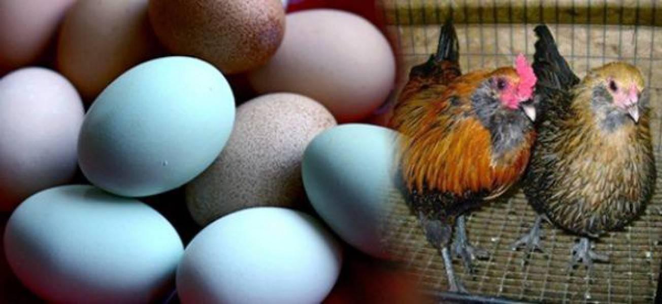 Что сделать, чтобы куры не клевали и не съедали свои яйца (причина, как отучить)
