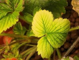 Что делать, если листья клубники пожелтели и скручиваются во время плодоношения