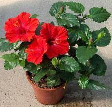Суданская роза - полезные и лечебные свойства, противопоказания к употреблению суданской розы