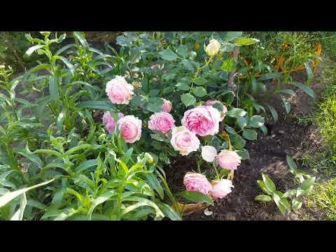 Сорт розы ферст леди первая леди: как посадить и ухаживать за срезочным шрабом