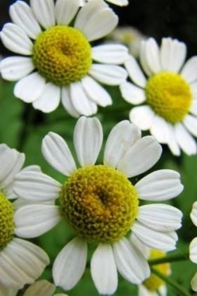 Аптечная ромашка, лечебные свойства и противопоказания
