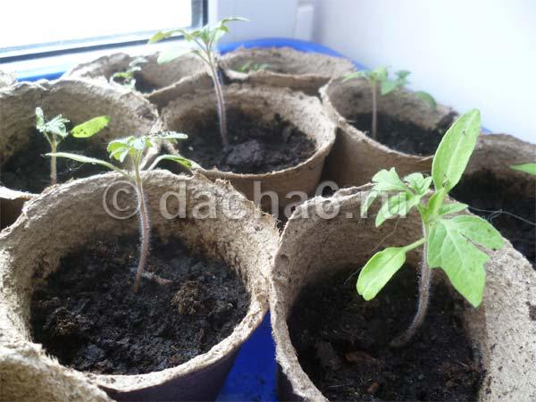 Подкормка рассады томатов и перца народными средствами: удобрения для хорошего урожая